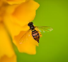 Hoverfly by dc42291