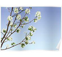 White Cherry Blossoms  Poster