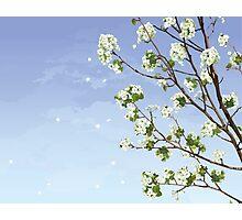 White Cherry Blossoms  Photographic Print