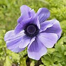 Lilac Anemone by Avril Harris