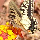 Pillow - Swallowtail Butterfly by Francis Drake