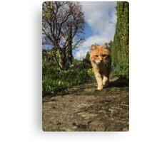 Ginger cat walking on garden path Canvas Print