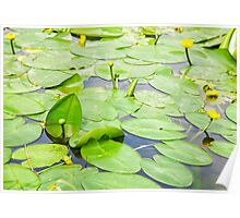 water lily closeup Poster