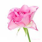 Rose by OpalFire