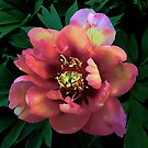 Peony - First Arrival by T.J. Martin