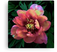 Peony - First Arrival Canvas Print