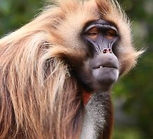 Gelada  by Sheila Smith