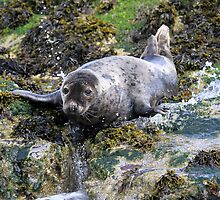Grey Seal, Northumberland by Brian Avery