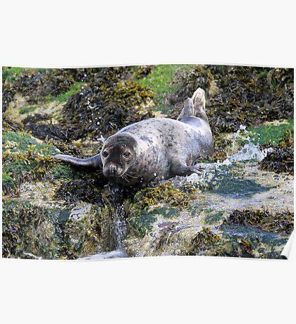 Grey Seal, Northumberland Poster