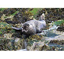 Grey Seal, Northumberland Photographic Print