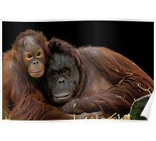Infant Orangutan and Mum Poster