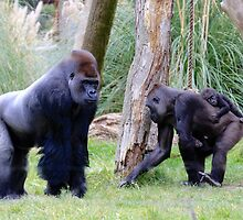 Western Lowland Gorilla Family by Sheila Smith