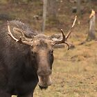 Bull moose in a fall landscape by Josef Pittner