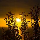 wild atlantic way sunset through wild flowers by morrbyte