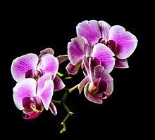 Orchid Flower by flashcompact