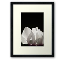White cyclamen flower in bloom Framed Print