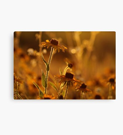 Golden Black Eyed Susan Canvas Print
