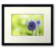 Allium 01 Framed Print
