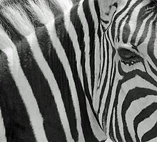 Zebra - African Wildlife Background - Harmony of Stripes by LivingWild