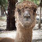 Alpaca by DPalmer