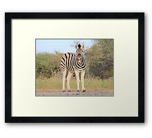 Zebra - African Wildlife Background - Funny Nature Framed Print