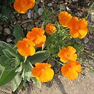 Colour me orange! California Poppies by BlueMoonRose