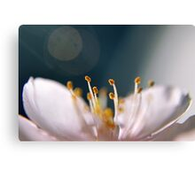 Almond flower macro close up harmony Canvas Print