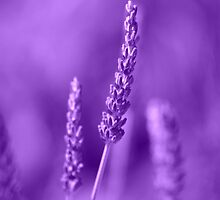 Lavender Lavender by Andy Turp
