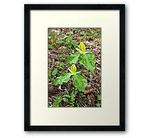 Yellow Trillium Framed Print