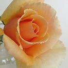Peach Rose from our garden by elikamahony