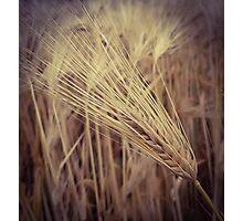 Wheat Grass Photographic Print