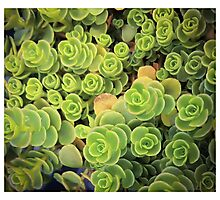Spiral Succulents Photographic Print
