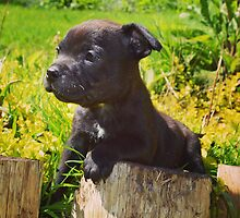 Staffordshire bull terrier puppy  by Eve77