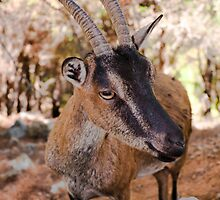 Wild kri-kri goat in Samaria Gorge, Crete, Greece. by Stanciuc