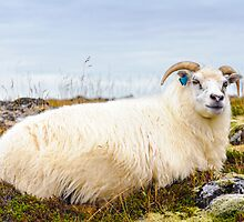 Icelandic sheep by Stanciuc