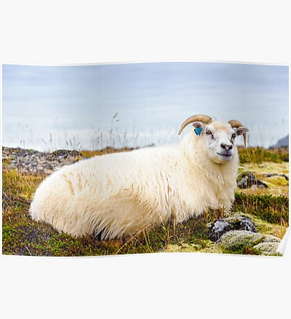Icelandic sheep Poster