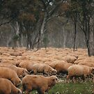 Droving Sheep at Albert  © Vicki Ferrari by Vicki Ferrari