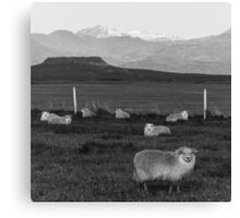 Icelandic Sheep in black & white Canvas Print