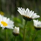 Delicate Daisies by Martha Medford