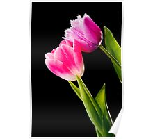 Pink and Red Tulips on Black Background Poster