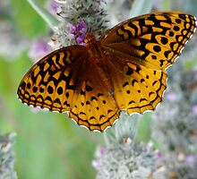 Great Spangled Fritillary by AGODIPhoto
