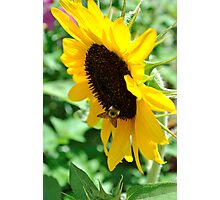 Buzzing for Sunflowers Photographic Print