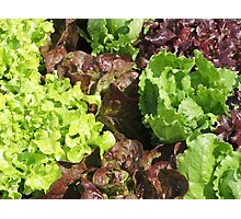 Vegetable Garden: Lettuce Galore Photographic Print