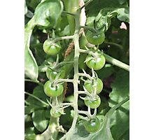 Vegetable Garden: Tomatoes Photographic Print