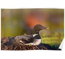 Common loon on nest Poster