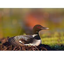 Common loon on nest Photographic Print