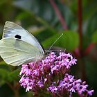 Large cabbage white butterfly on valerian flowers by missmoneypenny