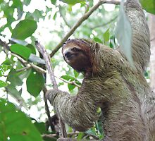 a sloth in the rain forest by jamielkins