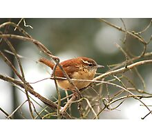 Carolina Wren Photographic Print