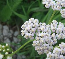 Yarrow Flower by daydreamatnight